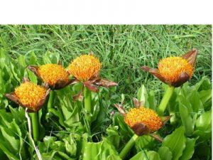 Scadoxus puniceus BULB