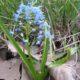 Scilla persica