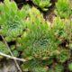 Sempervivum leucanthum
