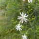 Silene pilosellifolia