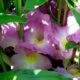 Siphonochilus aethiopicus BULB