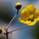 Sphedamnocarpus pruriens