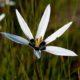 Spiloxene capensis white