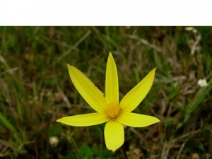 Spiloxene capensis yellow