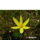 Spiloxene capensis yellow