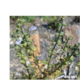 Stachys cuneata