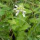 Stachys natalensis