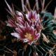 Stenocactus phyllacantus