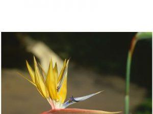 Strelitzia reginae yellow  (20)