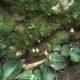 Streptocarpus prolixus