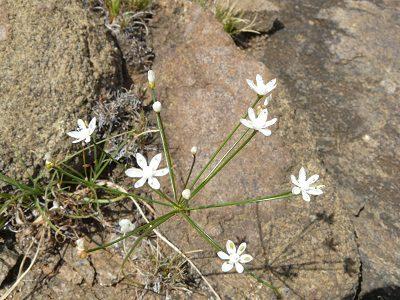 Strumaria tenella ssp orientalis BULB