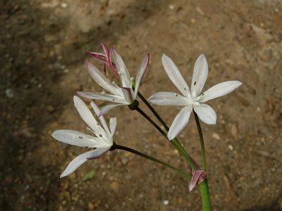 Strumaria picta