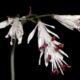 Strumaria truncata BULB