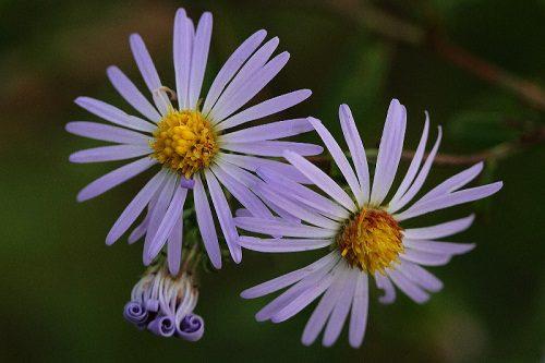 Symphyotrichum novae-belgii