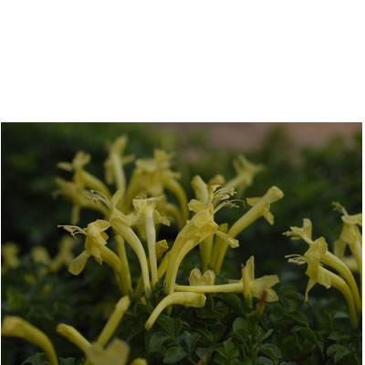 Tecomaria capensis -yellow