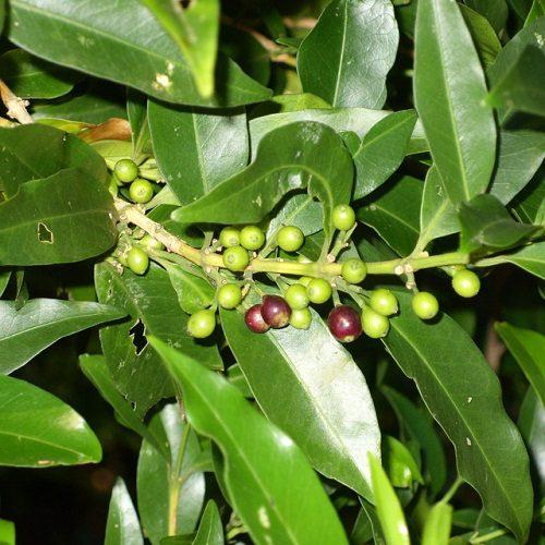 Tricalysia lanceolata