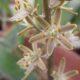 Trimelopter unifolium