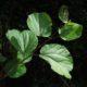 Trimeria grandiflora