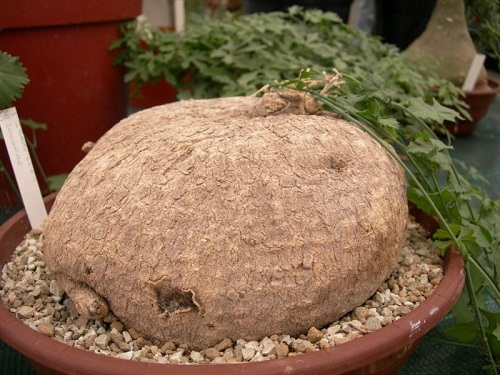 Trochomeria macrocarpa