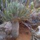Tylecodon rubrovenosus