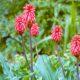 Veltheimia bracteata (10)