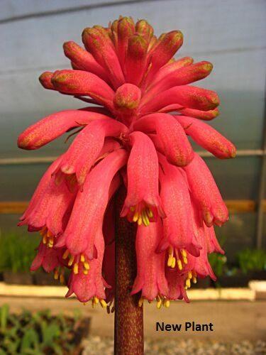 Veltheimia bracteata dark