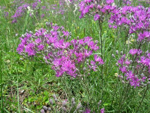 Vernonia capensis