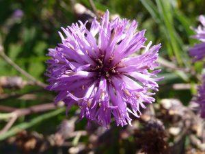 Vernonia staelhanoides