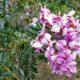 Virgilia oroboides