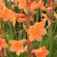 Watsonia laccata ORANGE