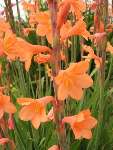 Watsonia laccata ORANGE