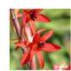 Watsonia angusta BULB