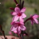 Watsonia emiliae