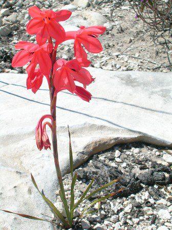 Watsonia fergusoniae