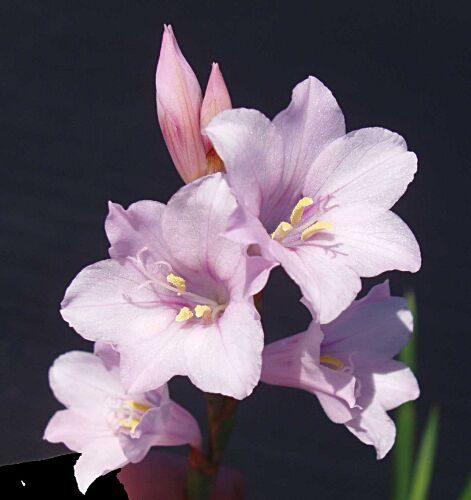 Watsonia laccata light purple