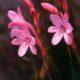 Watsonia paucifolia
