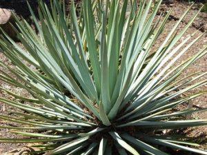 Yucca whipplei var erenica