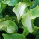 Zantedeschia aethiopica Green Goddess BULB