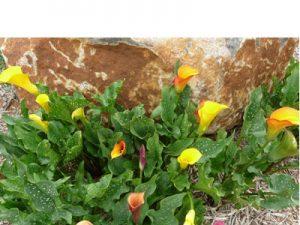 Zantedeschia mixed colours
