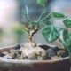 Zehneria pallidinervia
