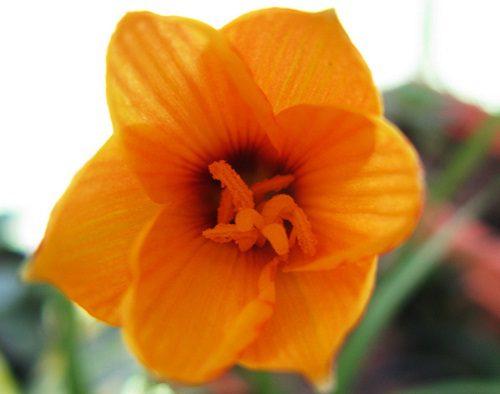 Zephyranthus andersonii