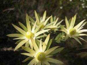 Leucadendron uliginosum