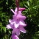 Watsonia borbonica (LIGHT PINK)