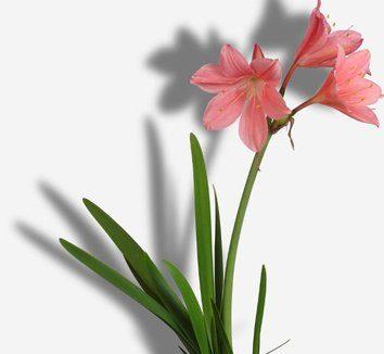 Cyrtanthus elatus pink BULB