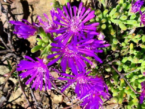 Drosanthemum pulchrum