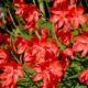 Hesperantha coccinea RED
