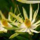 Leucadendron spissifolium