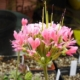 Pelargonium incrassatum light salmon
