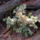 Pelargonium klinghardtense (4)