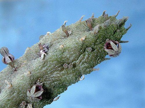 Rhytidocaulon fulleri (1)